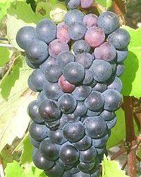 Grappe de Pinot Noir